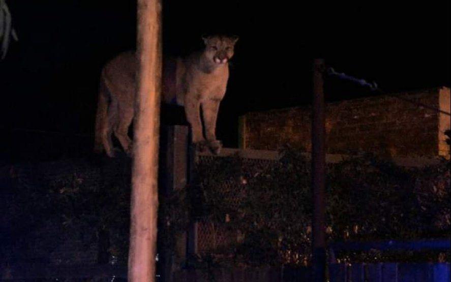 Un puma suelto en Bahía Blanca: atraparon al animal que causó terror entre los vecinos