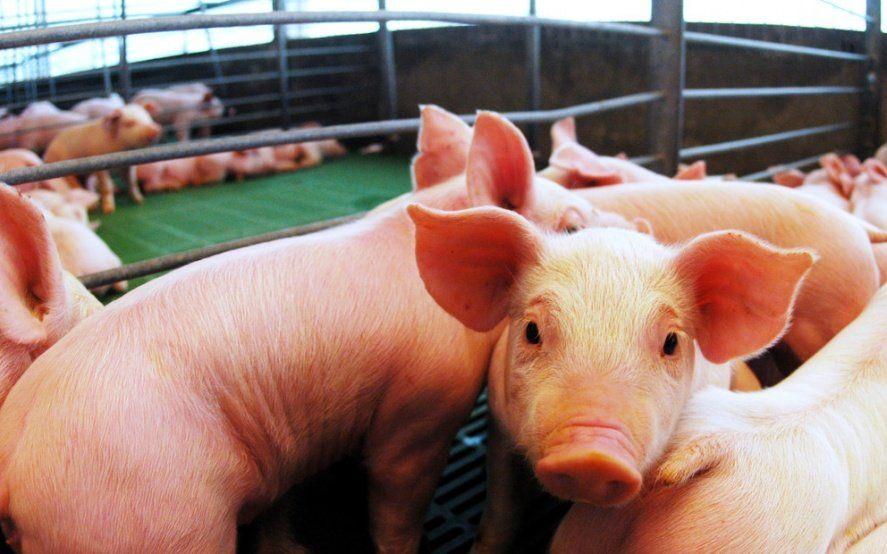 El sector porcino, molestopor quedar excluidos de paquete de medidas impulsado por el Gobierno nacional