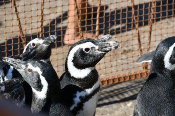 Los pingüinos habían sido rescatados en distintos puntos de la Costa Atlántica