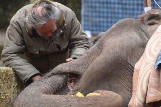 la elefanta pelusa no puede levantarse: ?forzarla podria ser contraproducente?
