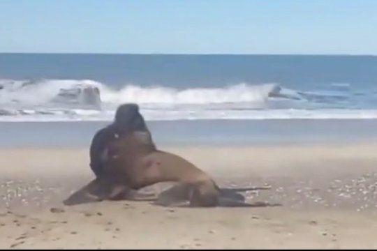 en medio de la cuarentena, en mar azul recibieron la calida visita de un lobo marino