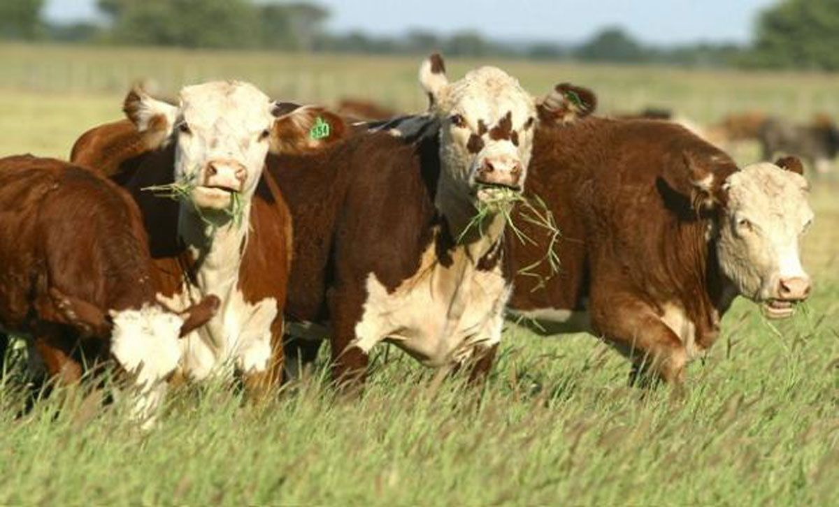banco nacion lanzo creditos para el engorde de ganado