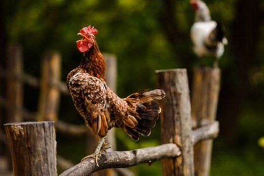 Recibió una multa de $40.000 por los ruidos de su gallo