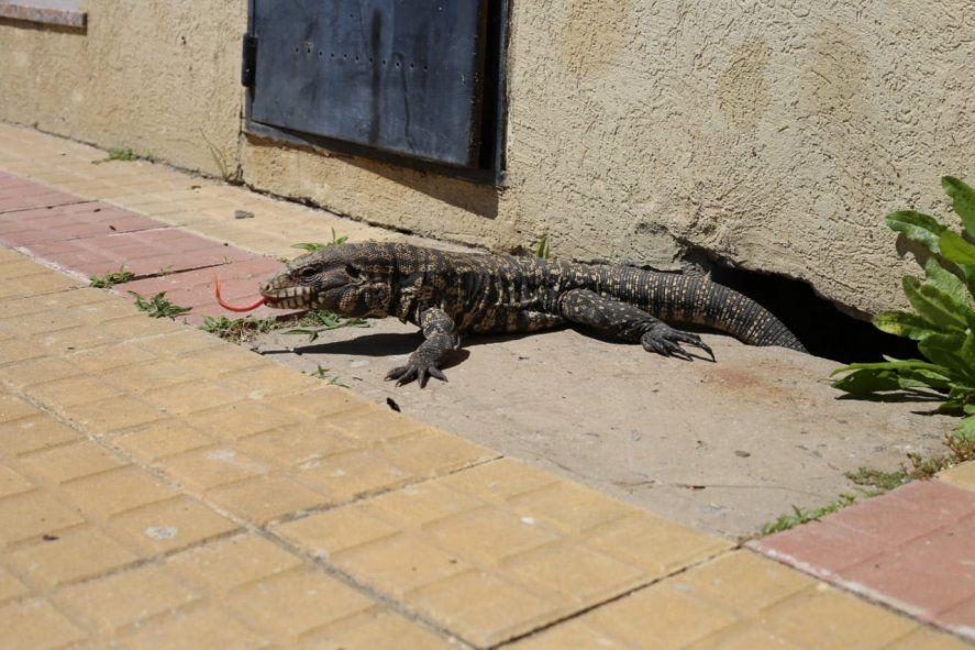 En el barrio de Tolosa, el reptil encontró refugio en un hueco de la calle
