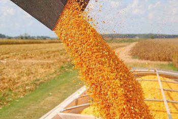 Se espera una cosecha total de 120,8 millones de toneladas de maíz.