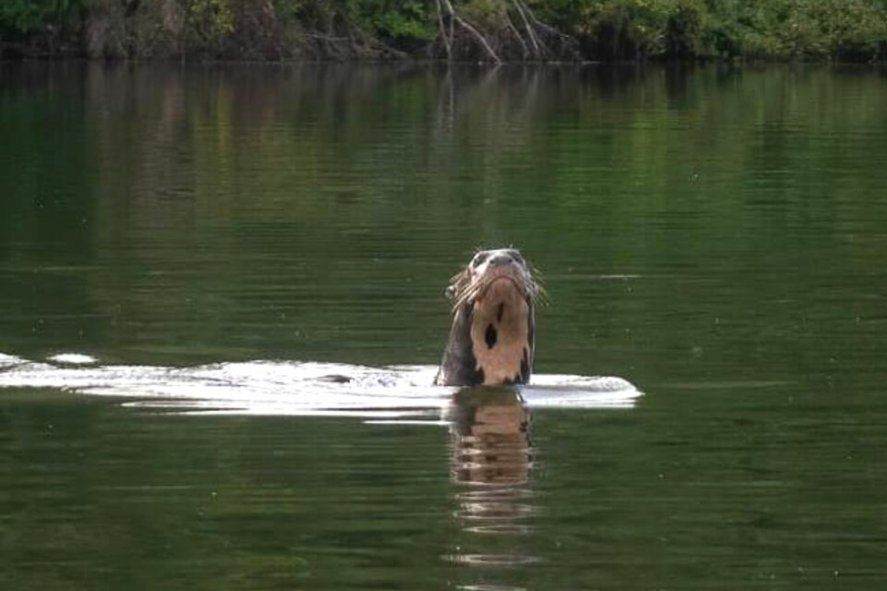 Investigadores ambientales avistaron esta semana en El Impenetrable chaqueño un ejemplar de nutria gigante o lobo gargantilla