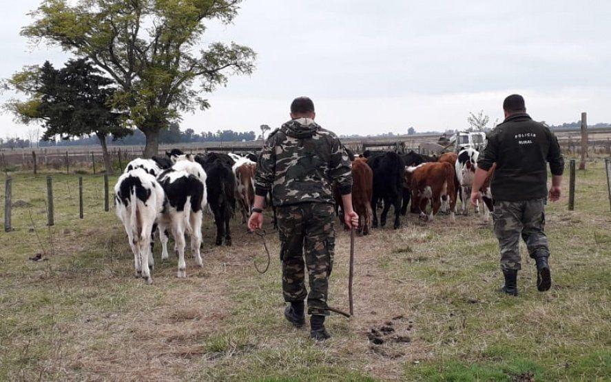 Allanamientos en Carlos Casares y Pehuajó por robos de bovinos y faena clandestina