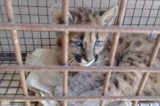 les dejaron un puma de dos meses: lo habian capturado para que sea su mascota