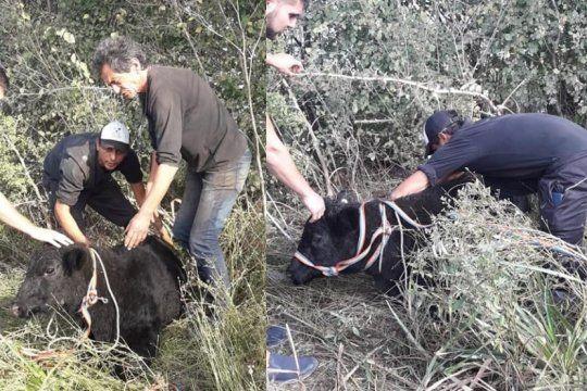 volco un camion con animales en lujan: vecinos los faenaron y proteccionistas salvaron a dos terneros