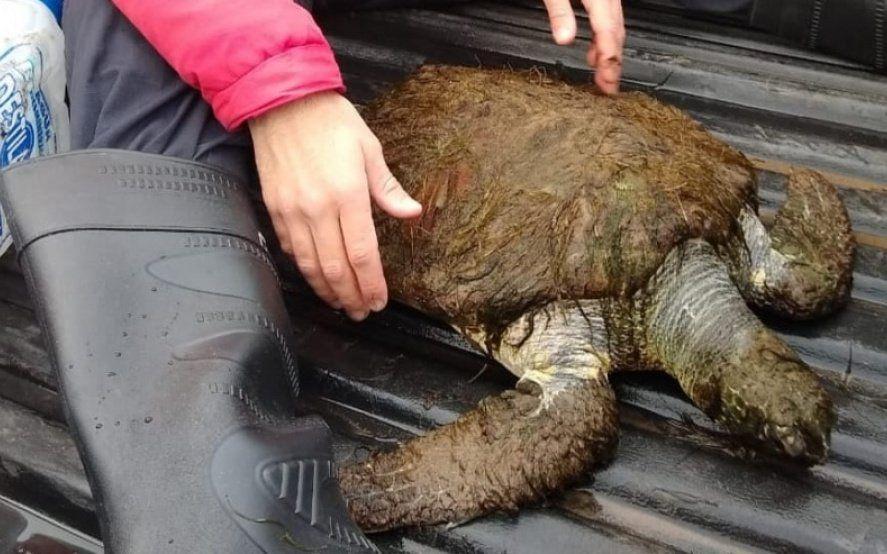 Las  tortugas verdes están en peligro de extinción