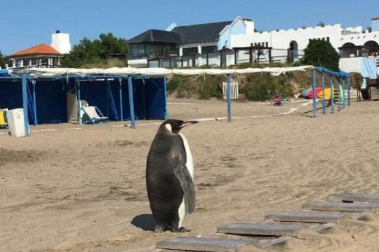 sorpresa en miramar: un pingüino salio del mar y llamo la atencion de todos en la playa