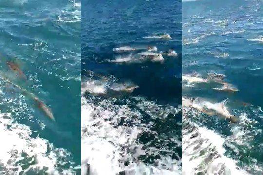El paso de cientos de delfines por Mar Chiquita quedó filmado en un video que recorre las redes