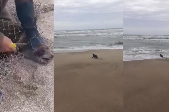 emotivo regreso al mar de un lobo marino que habia quedado atrapado en una red de pesca