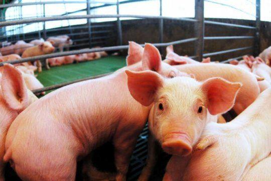 la importacion de cerdo preocupa a los productores porcinos de la provincia de buenos aires