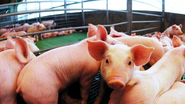 La importación de cerdo preocupa a los productores porcinos de la provincia de Buenos Aires