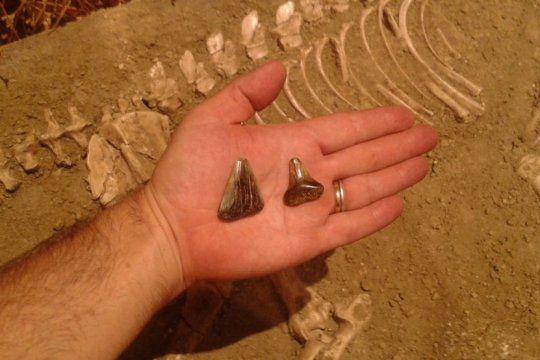 hallazgo historico en miramar: descubren fosiles de un tiburon blanco de unos 10 mil anos