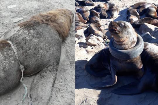 un lobo marino atrapado enuna rueda y otro animal muerto por una soga, las desoladoras postales de la contaminacion