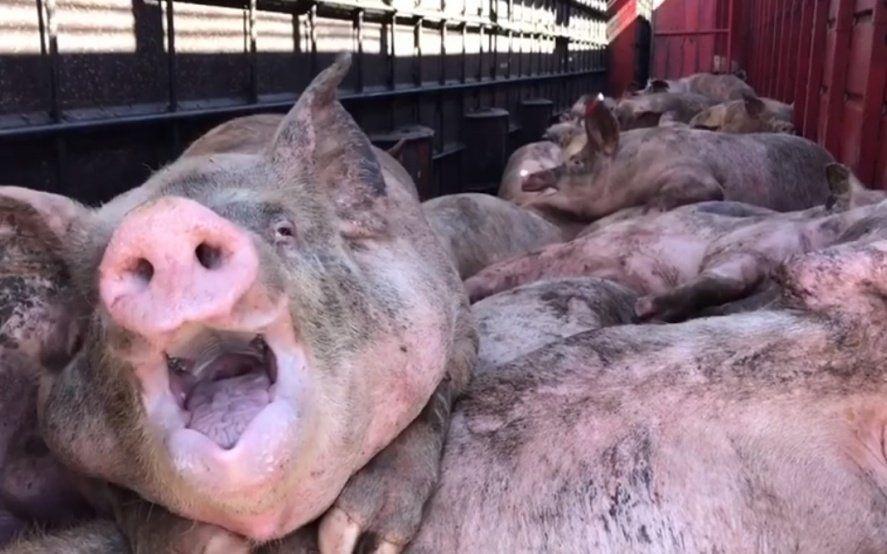 """""""Gritos, sangre y la más profunda desesperación"""", el crudo relato de activistas tras el vuelco de un camión con cerdos"""