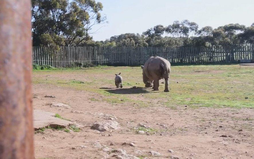 Video viral: el bebé rinoceronte que llenó de ternura las redes