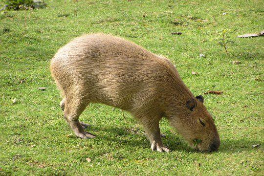 Nordelta se encuentra incluido en el área de distribución original del carpincho