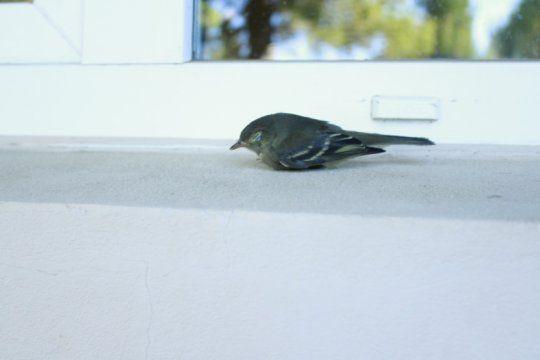 investigadores buscan terminar con la problematica del choque de aves contra las ventanas de viviendas