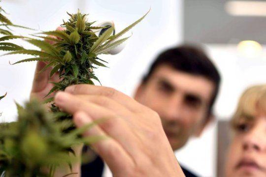 UNLP y cannabis: se aprobó que se plante con fines científicos