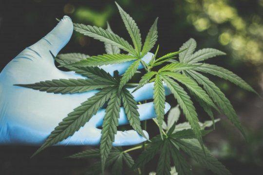 #nosotrascultivamos: el twittazo para defender el cultivo de aceite de cannabis para la salud