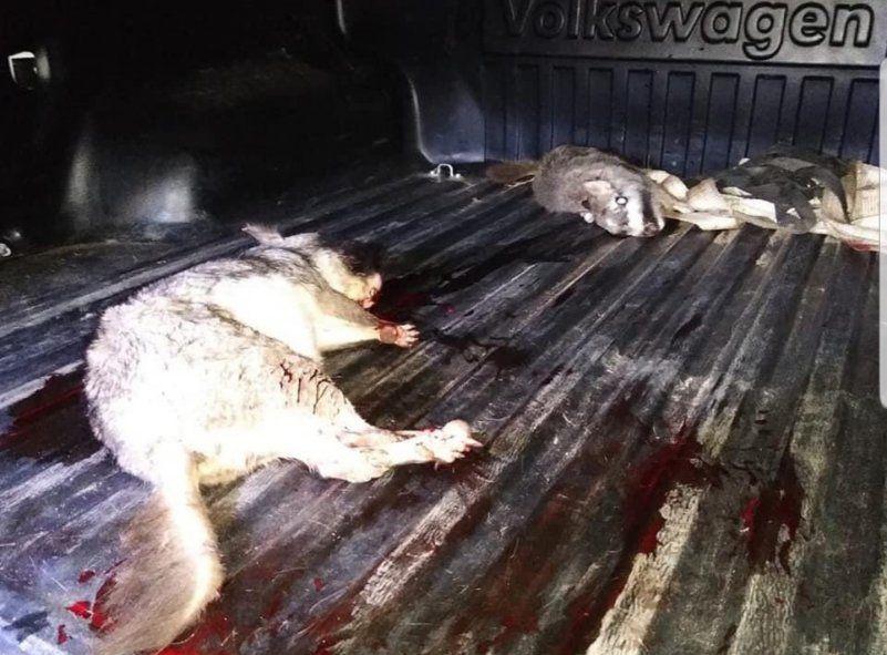 Algunos de los animales moribundos encontrados en la camioneta incautada en la ECAS de Berazategui