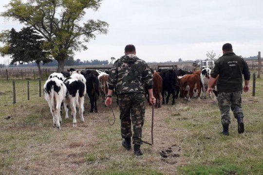 allanamientos en carlos casares y pehuajo por robos de bovinos y faena clandestina