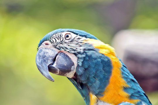 Los dos guacamayos que vivirán en el Bioparque son de color azul y amarillo.