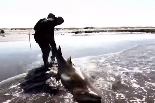pescaron un tiburon de mas de 2 metros en arenas verdes