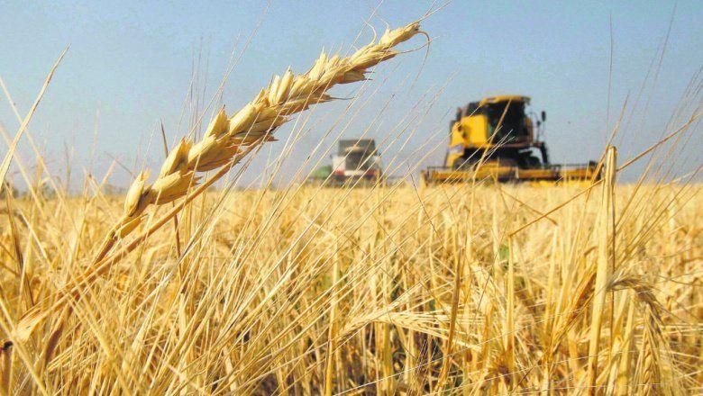 Estiman una producción récord de trigo y cebada
