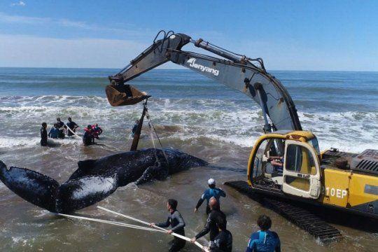 video: asi liberaron a la ballena que estuvo encallada durante 28 horas en mar del tuyu