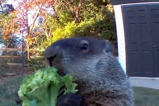 ?asalta huertas?: el video que filmo el dueno de una granja delato a un simpatico ladron de frutas y verduras