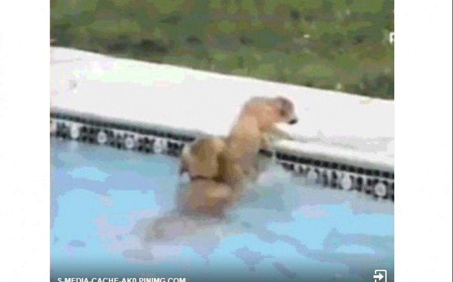 Solidaridad animal: un perro ayudó a que un cachorro no se caiga a la pileta y se volvió viral