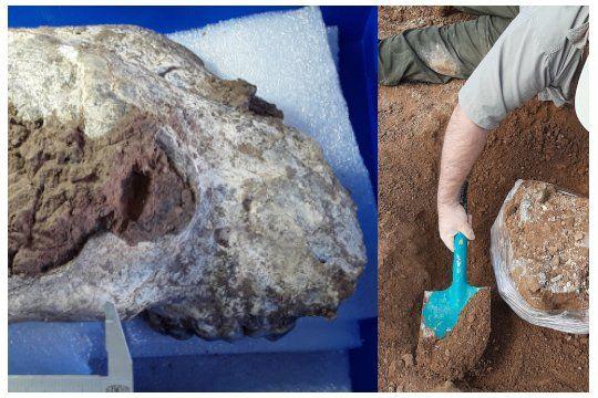 Los restos fósiles de la osa gigante fueron hallados por investigadores del Museo de Ciencias Naturales de La Plata.