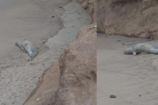 visita inesperada: un elefante marino sorprendio a los turistas de una playa marplatense