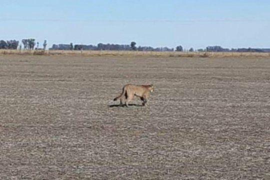 nos parecio grande el gato: aparecio un puma en un camino rural de ramallo