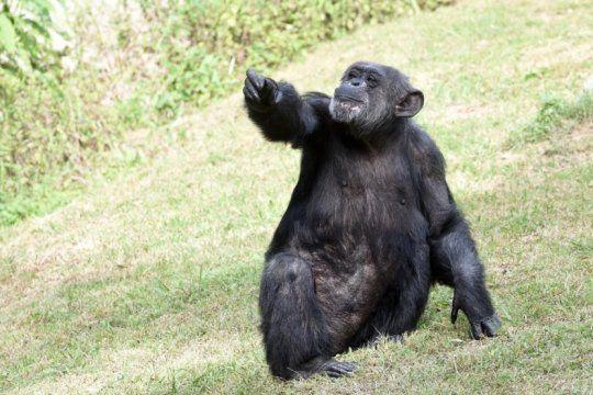 adios a otro de los iconos del zoo platense: murio la chimpance judy
