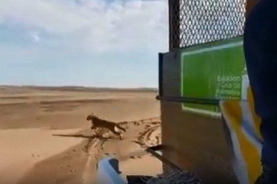 video: asi liberaban al puma rescatado en maipu en una reserva natural de coronel dorrego