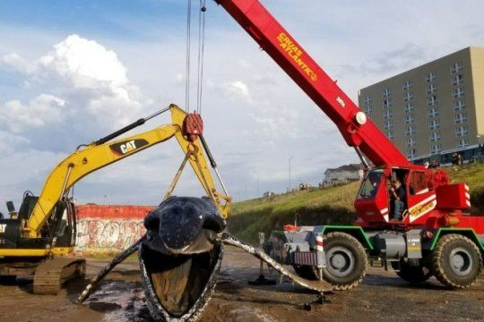 trasladaron los restos de la ballena: expondran su esqueleto en el museo de ciencias naturales