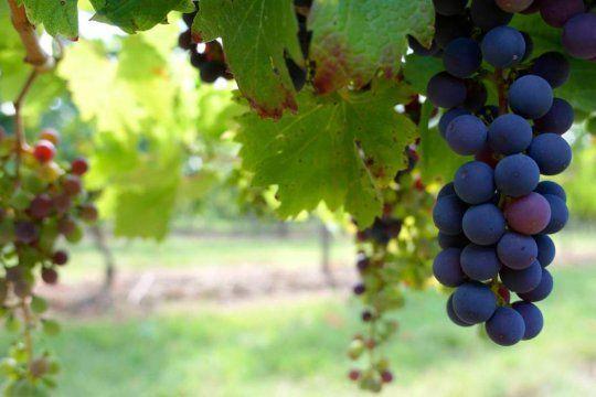 Dicen que el Vino Malbec argentino es el mejor del mundo.(Foto: Instituto Nacional de Vitivinicultura).
