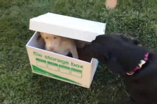 ?cuando a un perro le regalas otro perro?: la divertida reaccion del labrador que se volvio viral