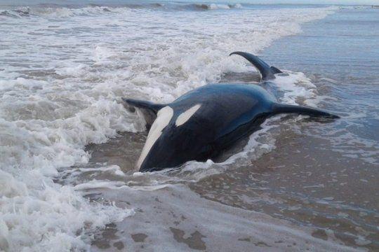 el momento en el que liberaron a una de las orcas encalladas en la orilla de mar chiquita