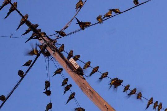 la pesadilla de los loros barranqueros: provocan ruidos, suciedad y otros trastornos en villarino