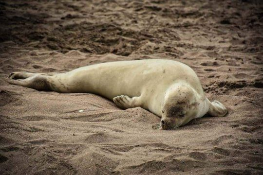 edit deletephotoLa foca cangrejera aparecida en Mar del Plata fue golpeada por desconocidos (Foto: Fauna Argentina)