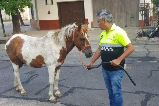 con dos nuevos rescates, ya son 200 los caballos apartados del maltrato y el abandono en la plata
