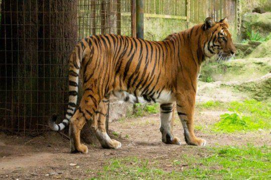 despues de diez anos de cautiverio, la tigresa del ex zoo de la plata recupera la libertad: asi sera su nueva vida