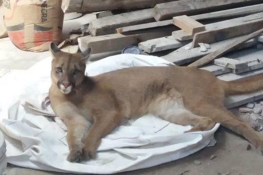 La Plata: abrieron la puerta de un galpón y encontraron a un puma