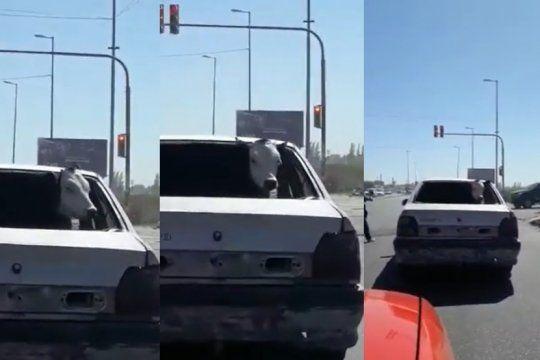 insolito: filman a una vaca viajando en el asiento trasero de un auto en la matanza